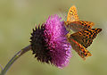 Argynnis pandora - Cardinal butterfly 1.jpg