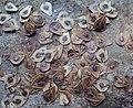 Aristolochia ringens 07.JPG