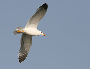Description de l'image  Armenian Gull in flight at Sevan lake, March 2008.jpg.