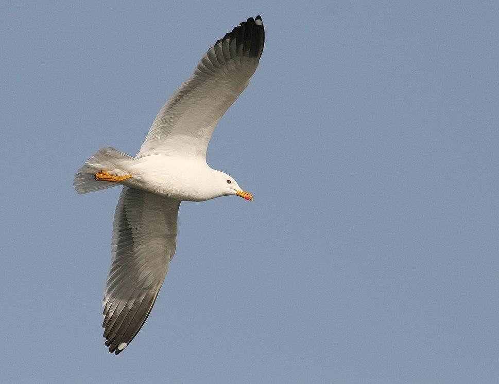 Armenian Gull in flight at Sevan lake, March 2008
