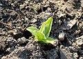 Arnica montana kz01.jpg