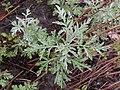 Artemisia frigida 2017-05-07 0141.jpg