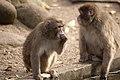 Artis Japanese macaques (6953947095).jpg
