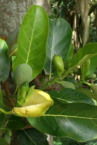 Jackfruit - Flower buds of a jackfruit tree