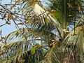 Artocarpus lakoocha feuilles et fruits Laos.jpg