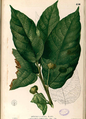 Artocarpus ovatus Blanco2.450-original.png