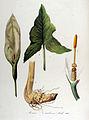 Arum italicum — Flora Batava — Volume v13.jpg