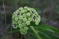 definition of asclepias