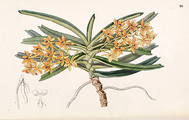 Ascocentrum miniatum (as Saccolabium miniatum) - Edwards vol 33 (NS 10) pl 58 (1847).jpg