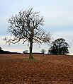 Ash and Oak in Field - geograph.org.uk - 1108492.jpg