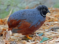 Asian Blue Quail RWD.jpg