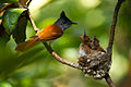 Asian paradise flycatcher1.jpg