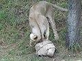 Asiatic Lioness 06.jpg