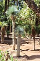 Asparagales - Yucca rostrata - 2.jpg