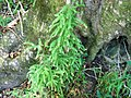Asparagus scandens afrotemperate forest CapeTown2.jpg