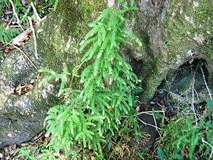 Asparagus scandens - Image: Asparagus scandens afrotemperate forest Cape Town 2
