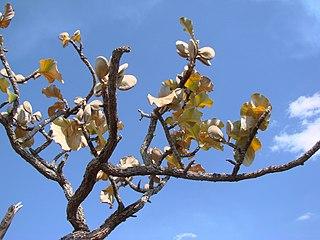 <i>Aspidosperma macrocarpon</i> species of plant