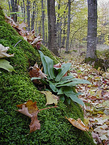 Photograph of a moss-covered outcrop; there's a fern with large, narrow, shiny leaves growing in the center. Behind the outcrop is a deciduous forest in springtime; the ground is littered with brown leaves.