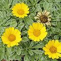 Asteriscus maritimus-IMG 6052.jpg