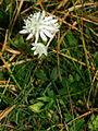 Astrantia carniolica, Soriška planina 2.JPG