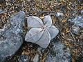 Astrophytum myriostigma (5699301859).jpg