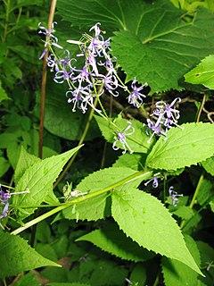 <i>Asyneuma</i> genus of plants