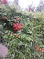 Atlas roslin pl Hortensja ogrodowa 3946 7167.jpg