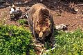 Atop Grouse Mountain in Vancouver BC - the Grizzlies (Ursus arctos horribillis) - 4 years ago they were cubs - but not now!!! - (18291773794).jpg