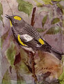 Audubon Warbler NGM-v31-p309-B.jpg