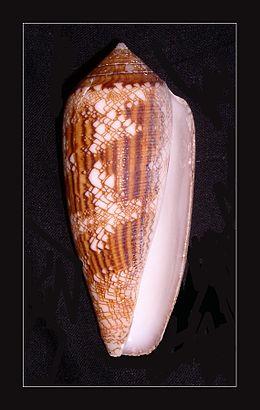 Aureus Cone - Conus aureus 001