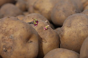 Genetically engineered potato - Amflora potatoes, modified to produce pure amylopectin starch
