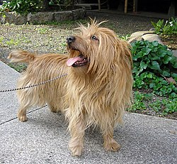 Best Photo of Australian Terrier