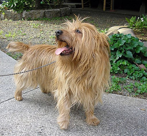 Australian Terrier2