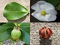 Autograph tree (Clusia rosea)- leaf with autograph, flower, fresh fruit, and dried fruit.jpg