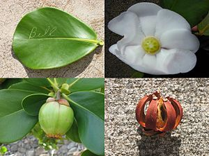 Clusia - Image: Autograph tree (Clusia rosea) leaf with autograph, flower, fresh fruit, and dried fruit