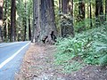 Avenue Of The Giants (33063246084).jpg