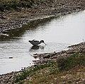 Avocet (Recurvirostra avosetta) - geograph.org.uk - 825934.jpg