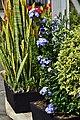 Azulina (Plumbago auriculata) - Flickr - Alejandro Bayer (2).jpg
