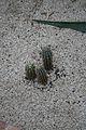 Azureocereus Hertlingianus & Peru (1) (11984009946).jpg