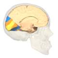 BA17,18,19 - Visual cortex (V1, V2, V3) - medial view.png