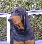 This Black and Tan Coonhound's flews hang well below its lower jaw.