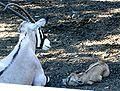 Baby Gemsbok - Buffalo Zoo.jpg