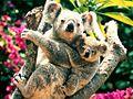 Baby koala.jpg