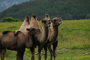 Bactrian camel group highland wildlife park scotland.JPG