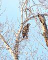 Bald Eagle (5246558823).jpg