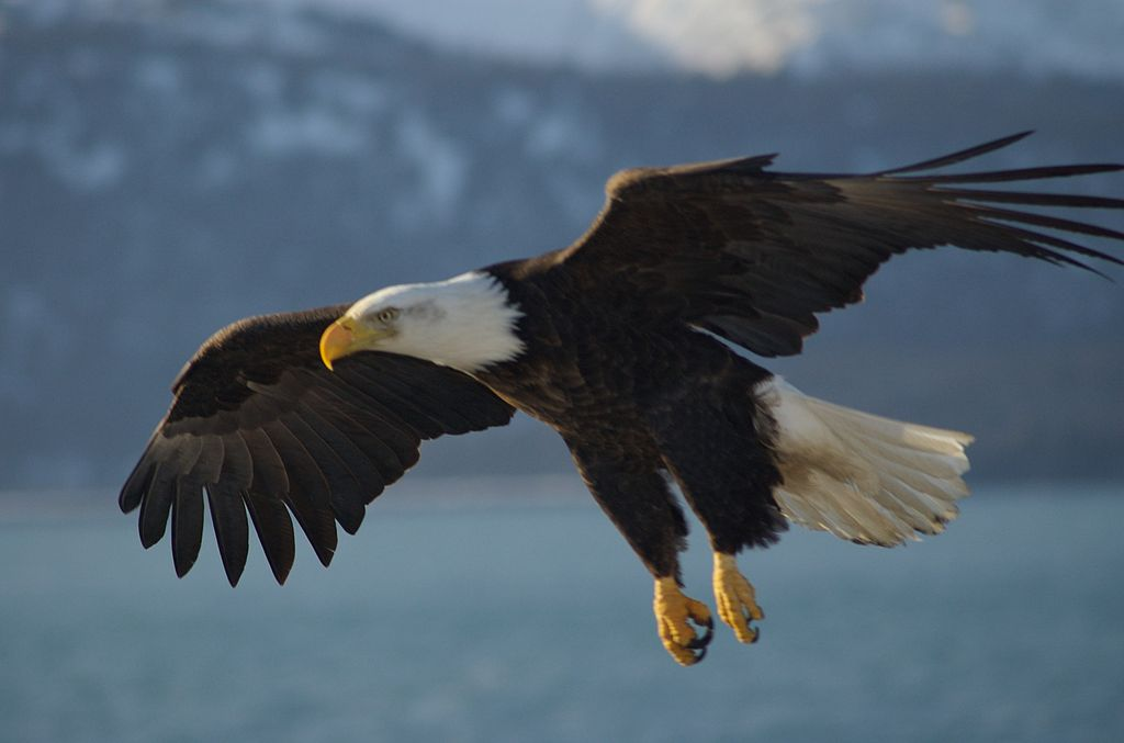 Alaska Bald Eagles