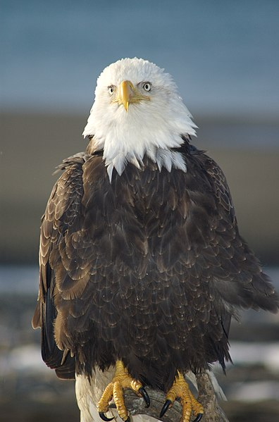 Archivo:Bald Eagle Alaska (8).jpg
