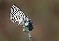 Balkan kaplanı - Tarucus balkanicus.jpg