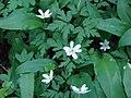 Baltais vizbulis (Anemone nemorosa L.) Vecdorvalka krastos, Dundagas pagasts, Dundagas novads, Latvia - panoramio.jpg