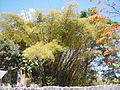 Bambusa vulgaris Schrad. ex J.C.Wendl. - 2013 000.JPG